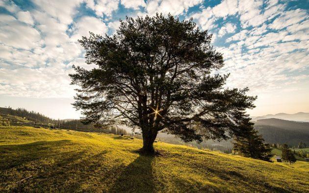 Zagłosuj naprzyrodę iwybierz Drzewo Roku 2020