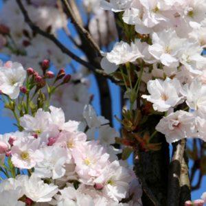 Kwitnące wiśnie w parku